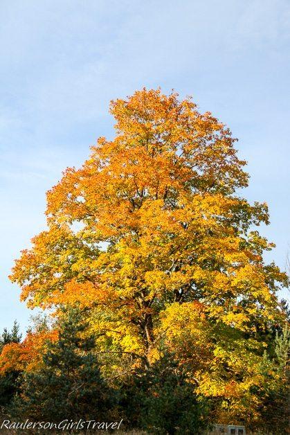 Orange and Yellow Tree in Michigan