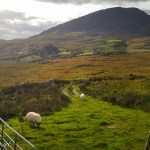 Sheep grazing in the Ring of Kerry, Ireland