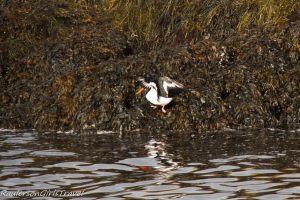 Oystercatcher bird in Kenmare Bay