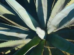 Primer plano de una planta de agave; esta en particular es un «telcruz»