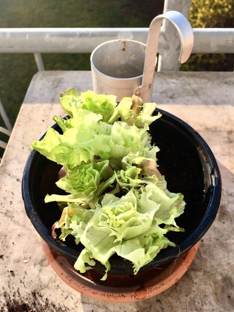 nachwachsende Rohstoffe im Salatbeet