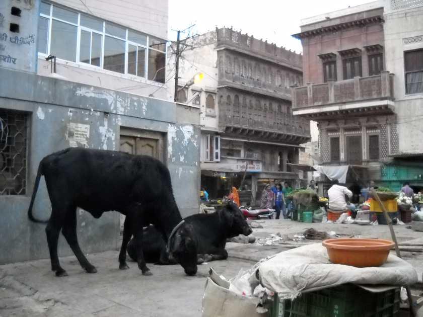 Freilaufende Kühe in Indien, Teil des Banana Pancake Trail