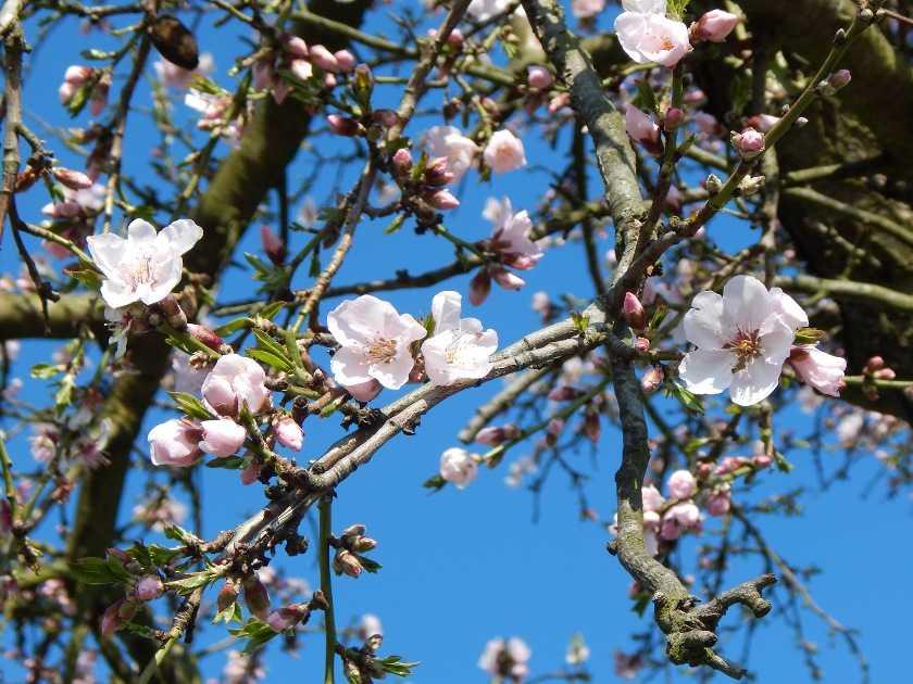 Die Mandelblüte an der Deutschen Weinstraße