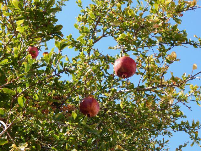 Famagusta Granatapfelbaum