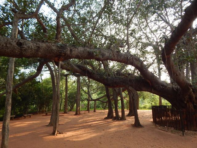 Banyan Auroville