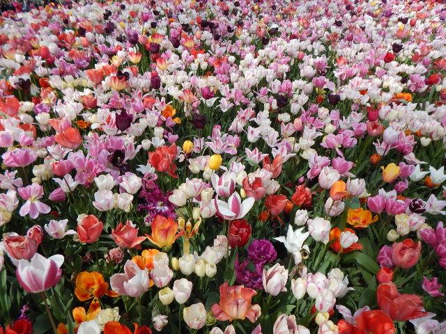 Blumenbeet mit weißen, rosafarbenen und Roten Tulpen im Keukenhof in Holland.