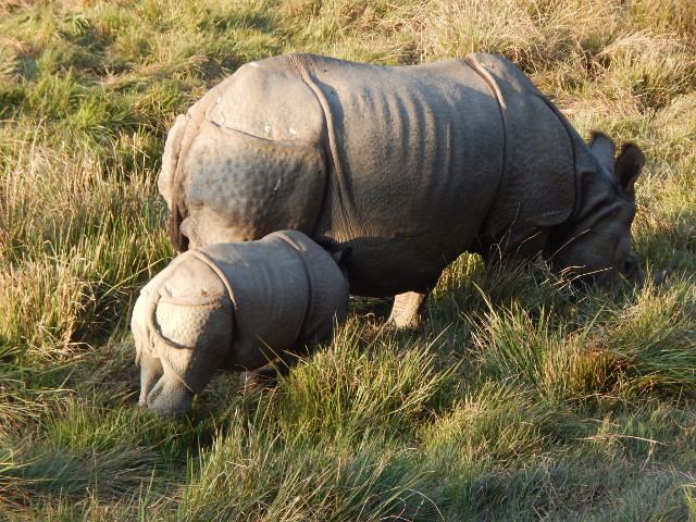 Panzernashorn Mama mit Baby im Chitwan Nationalpark in Nepal