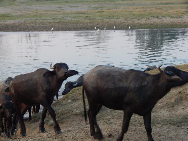 Wasserbüffel auf dem Heimweg