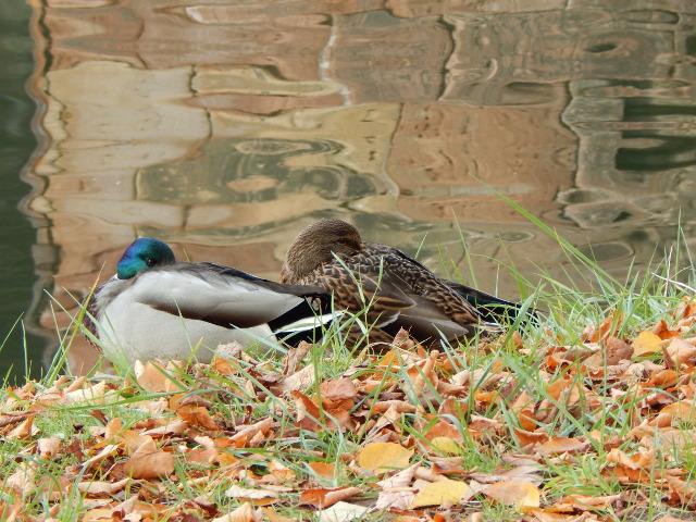 Schlafende Enten im Park in Saarbrücken