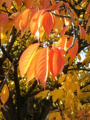 Orange leuchtende Herbstblaetter