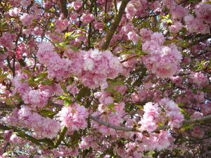 Rosa blüht der Nelkenbaum aus Japan.