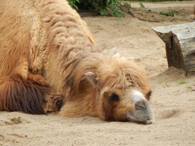 Schlafendes Kamel im Kölner Zoo.