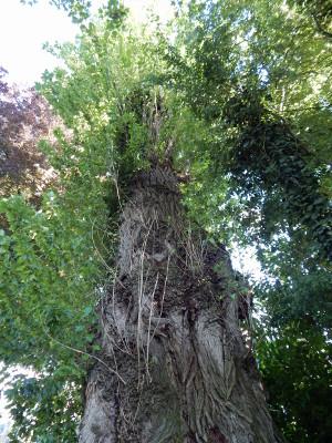 Lieblingsbaum treibt neu aus.