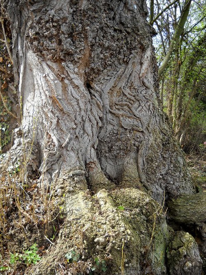 Mächtige Wurzel meines Lieblingsbaumes