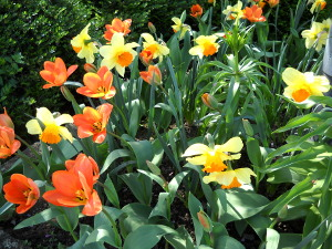 Tulpen und Narzissen.