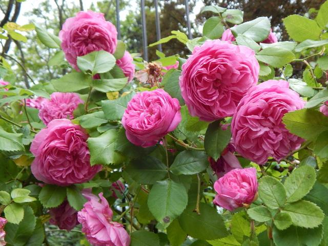 Rosa blühende Rosen.