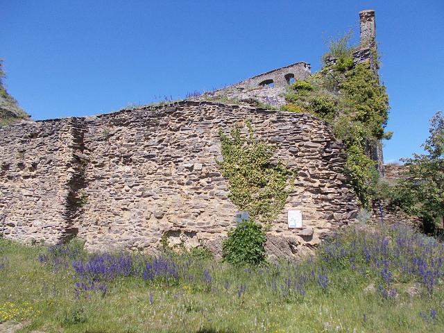 Blaue Blüten auf Burg Rheinfels