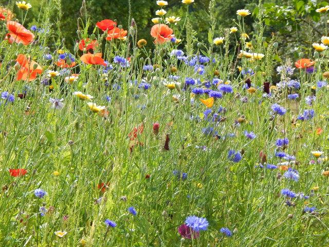 Blumenwiese mit rotem Klatschmohn und blauen Kornblumen