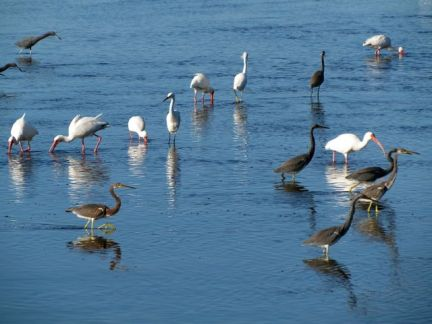 All the wading birds hang out together