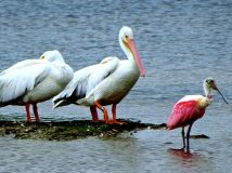 White pelicans are so much bigger than spoonbills!