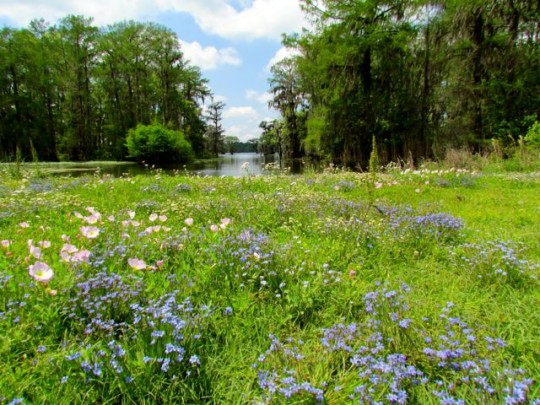 Wildflower Meadow Overlooking The Swamp