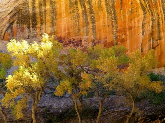 Cottonwoods In Autumn Finery