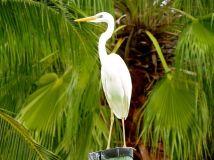 Great Blue Heron, white morph