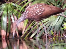 Limpkin Looking For Lunch