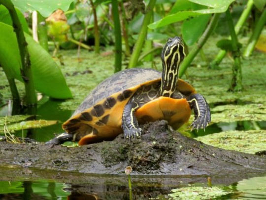 One Of Many Turtles Sunning
