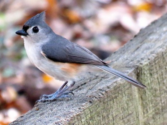 Tufted Titmouse In Our Campsite