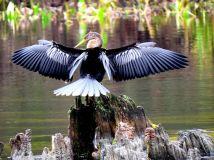 Anhinga drying its' wings
