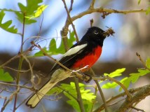 Painted Redstart with a bug