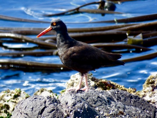 An Oystercatcher Looking For Lunch