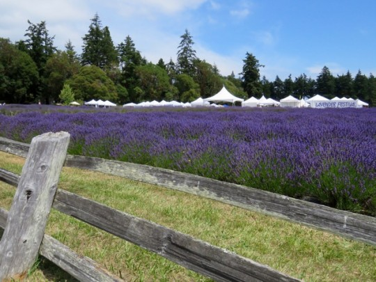 At The Lavender Festival