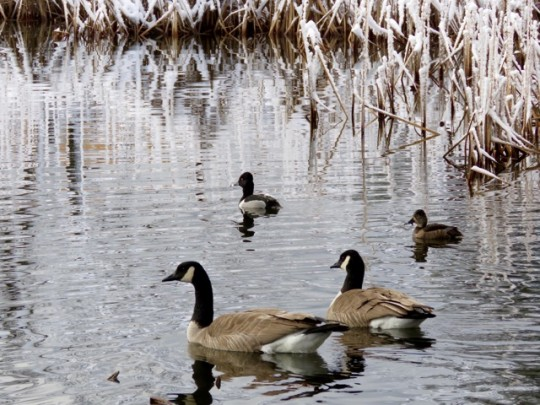 Canada Geese And Ring Necked Ducks
