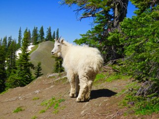 Mountain Goat, Olympic National Park, Washington