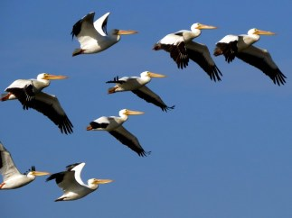 American White Pelicans, Florida