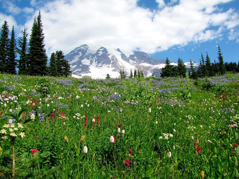 Wildflowers at Mt. Rainier National Park, Washington