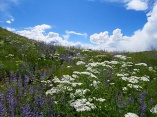 Pipestone Canyon Wildflowers, Winthrop, Washington
