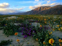 Spring Wildflowers, Anza Borrego State Park, California