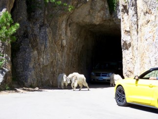 Mountain goats don't care if they hold up traffic