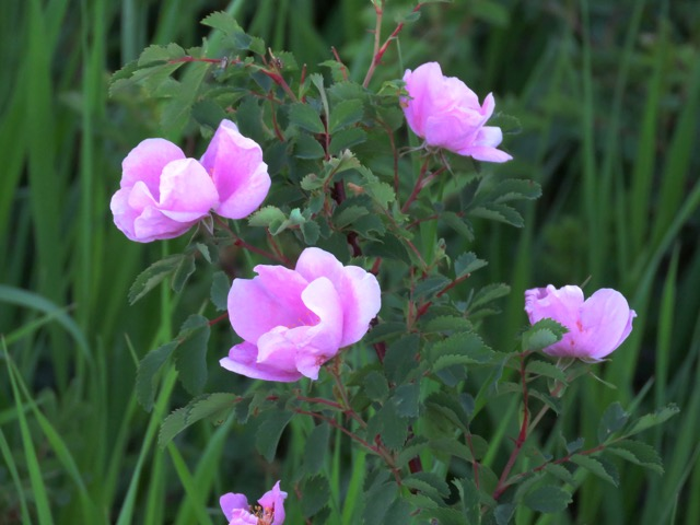 Fragrant wild roses on the trail