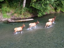 Elk crossing the Dosewallips River
