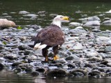 Bald Eagle fishing for salmon