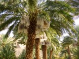 Date palms with ripening dates