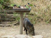 Javelinas hang out for bird seed snacks