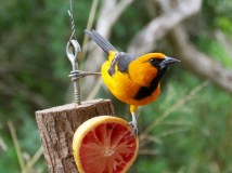 Altamira Orioles love oranges