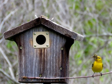 Prothonotary Warbler nesting