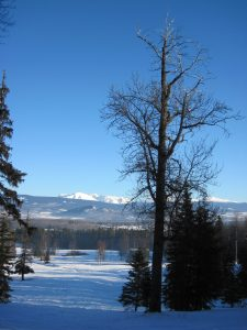 Large cottonwood with a stellar view of the Bulkley Valley