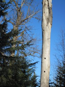 Cavities in old cottonwood trees and snags provide homes for many wildlife species, including fishers